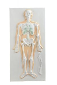 Anatomisch model hart/longen 3D ST-ATM144