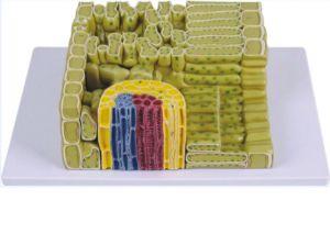 Anatomisch model plant cel  structuur (sterk vergroot) ST-ATM 122