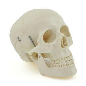 Crâne humain - modèle pour l'anatomie de l'enseignement ST-ATM 013