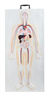 Graphique anatomique  de la musculature ABS-256