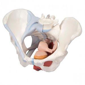 Bassin féminin avec ligaments en 4 pièces ST-ATM 37