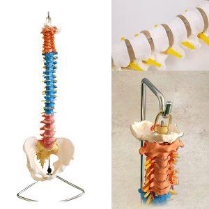 Modèle anatomique rachis avec bassin ST-ATM 42