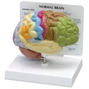Modèle anatomique du cerveau en couleur ST-ATM 58
