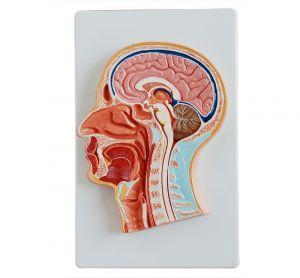 Modèle anatomique médiane de la tête ST-ATM 62