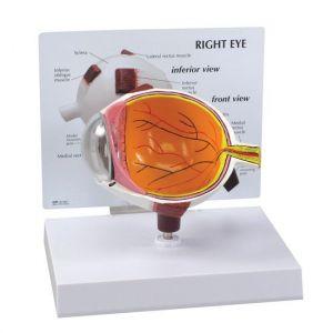 Modèle anatomique oeil ST-ATM 65