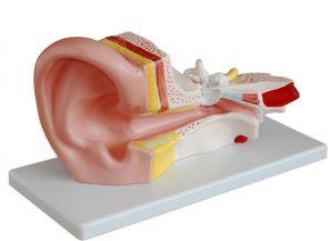 Modèle de l'oreille moyenne ST-ATM 69