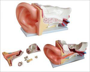 Modèle d'oreille anatomique grand ST-ATM 70