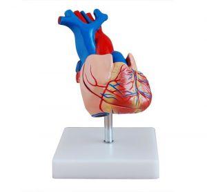 Coeur anatomique modèle grandeur nature ST-ATM 72