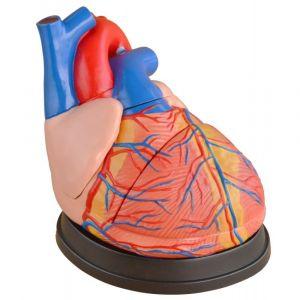 Modèle anatomique coeur, trois fois la taille de la vie ST-ATM 73