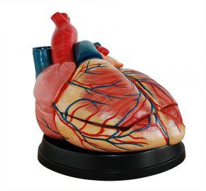 Modèle anatomique coeur, quatre fois la taille de la vie ST-ATM 75
